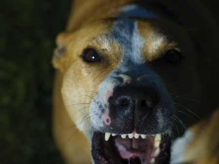 Why you don't want a pit bull family law attorney